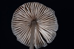 Mangestribet huesvamp (Mycena polygramma)